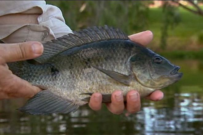 noxious fish