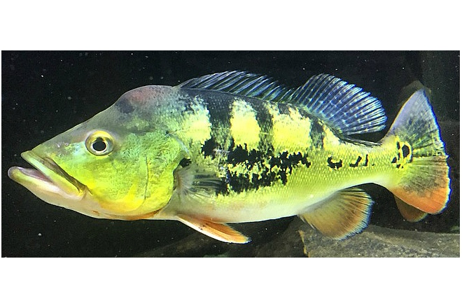 An adult peacock bass. Photo: Department of Agriculture and Fisheries