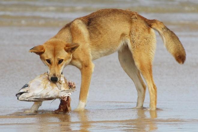 dingo safe fraser island