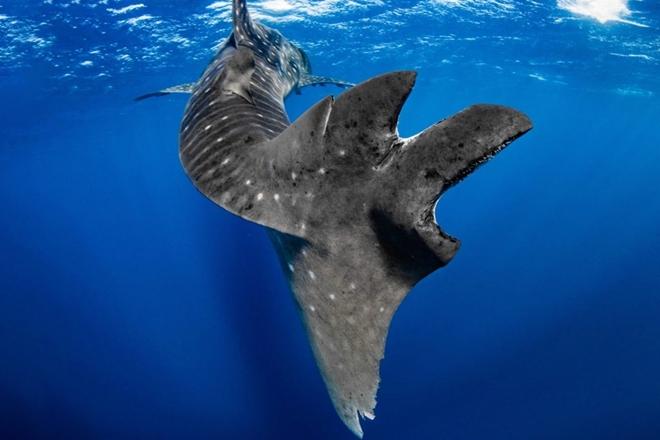 whale shark injuries wa