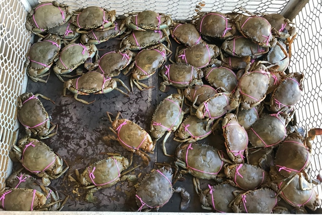 female mud crabs fine commercial crabbers