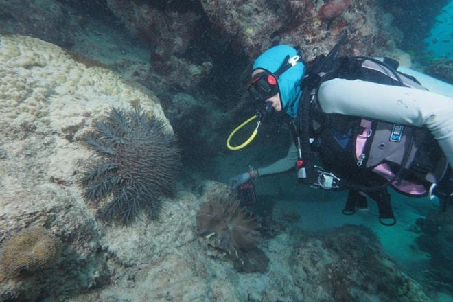 crown-of-thorns starfish eaten by fish
