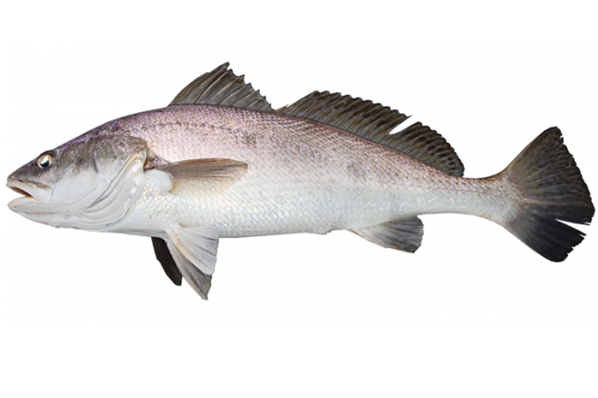 black jewfish population