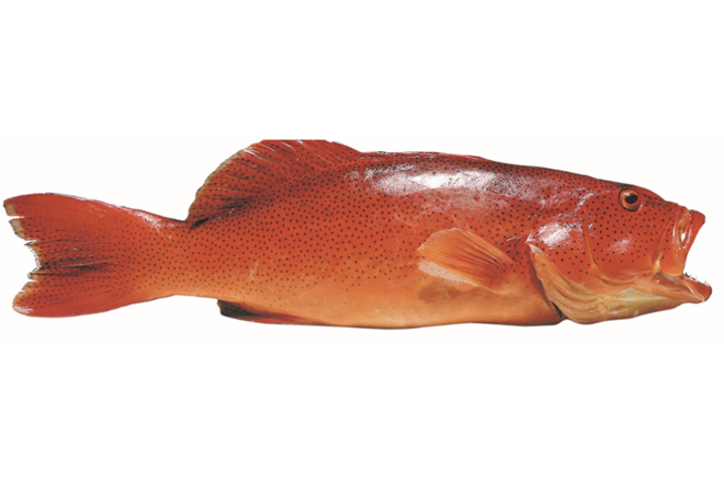 stock coral trout queensland