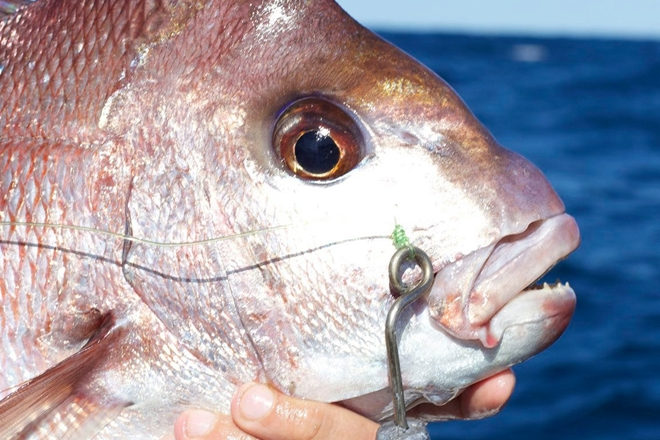 Top tips for releasing snapper