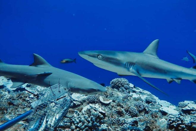 Federal Minister Revokes Queensland Fishery Licence Shark Fins